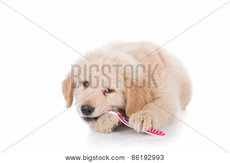 Golden Retriever Puppy Brushing His Teeth Front View