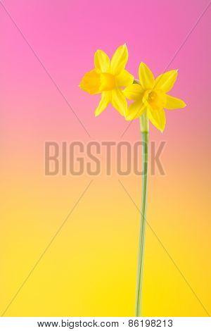 Tete A Tete Yellow Daffodils