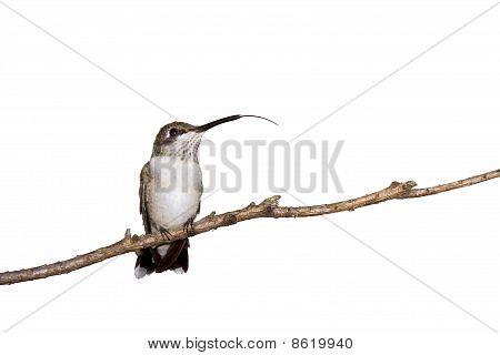 Hummingbird Sticks Out Her Tongue