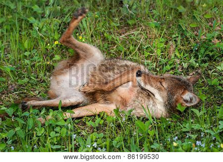 Coyote (canis Latrans) Lazes In The Grass