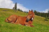 A horse on rest in a summer landscape on a mountain pasture. poster