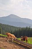 Cows at a feeding trough with salt in a summer landscape on a hillside against mountain top poster