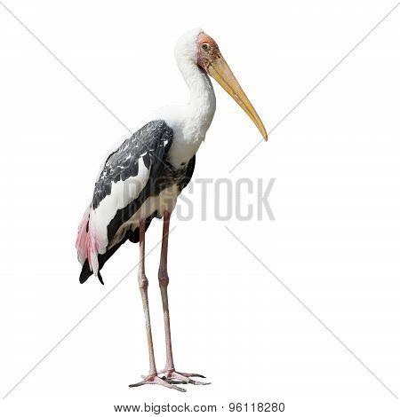 Painted Stork Bird Or Mycteria Leucocephala On White Background