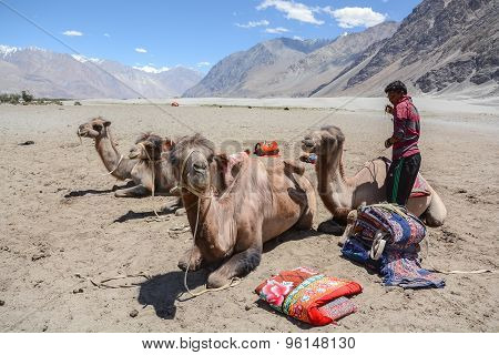 Bactrian Camels In Nubra Valley, Ladakh, India