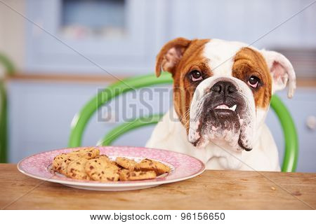 Sad Looking British Bulldog Tempted By Plate Of Cookies