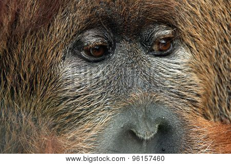 Cross hybrid of the Sumatran orangutan (Pongo abelii) and the Bornean orangutan (Pongo pygmaeus). Wildlife animal.