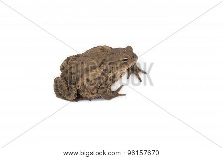 Hoptoad Isolated On White Background