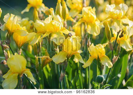 Iris flower. Yellow iris.