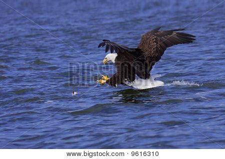 A Focused Bald Eagle Attcks Its Prey