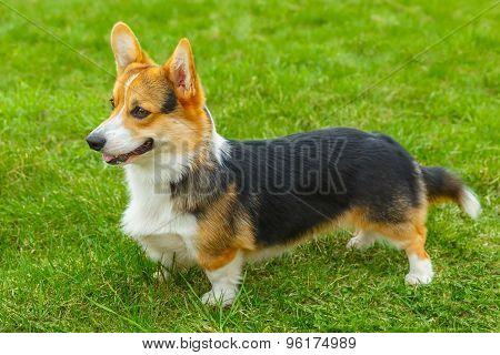 dog Pembroke Welsh corgi breed standing on a green lawn poster