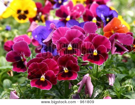 Multicolored Pansy