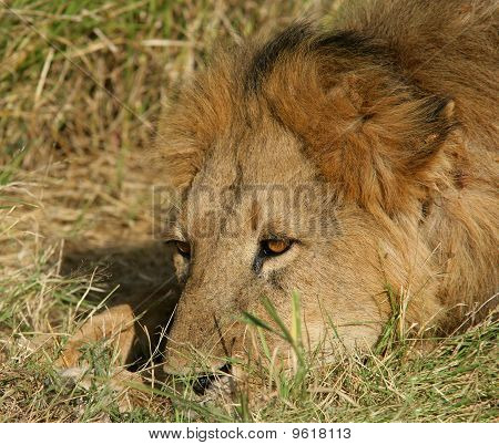Africa,lions