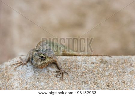 The Tree Lizard Disguises On The Brown Rock