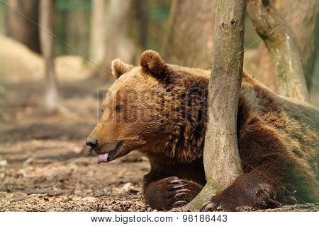 captive brown bear standing near tree trunk at the zoo ( Ursus arctos ) poster