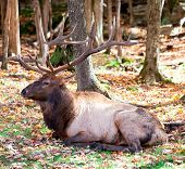 An Elk is resting on a fall day. poster