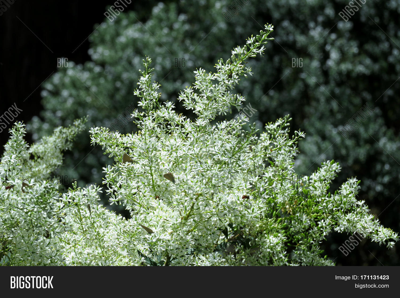 Christmas Bush Image & Photo (Free Trial) | Bigstock