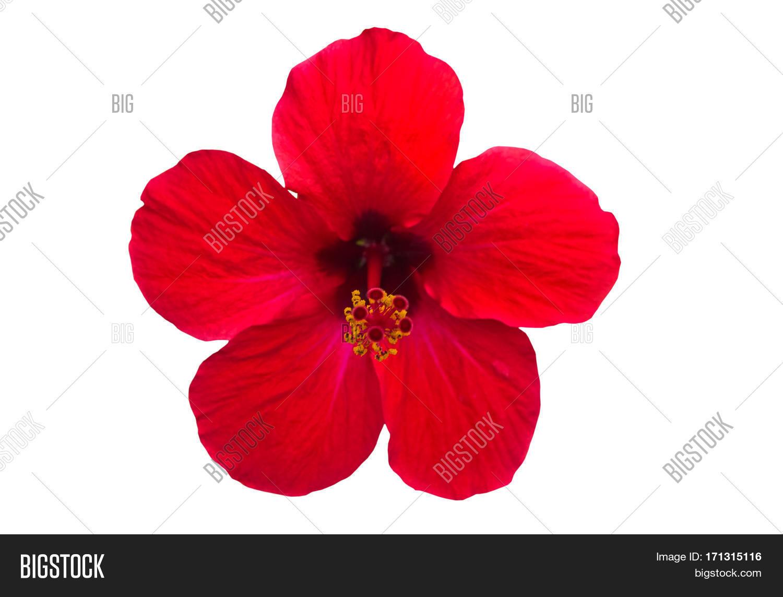 Macro Red China Rose Image Photo Free Trial Bigstock
