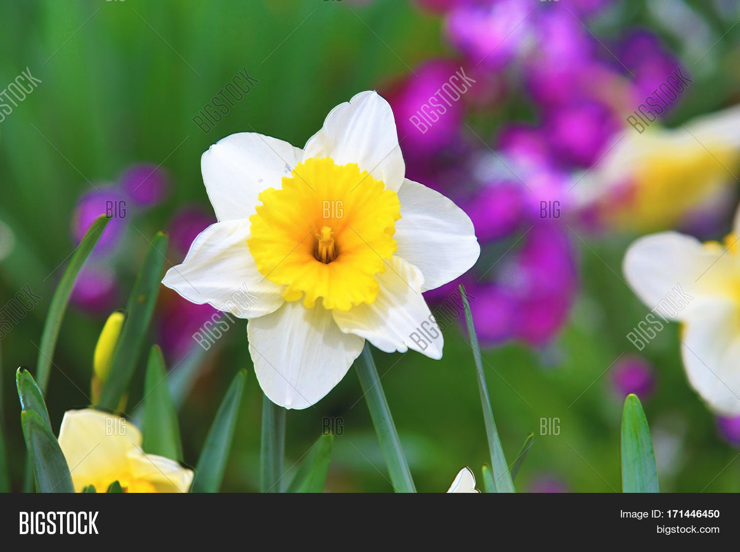 Beautiful scenery image photo free trial bigstock beautiful scenery of daffodil flowerswhite with yellow flowers blooming in the garden in spring izmirmasajfo