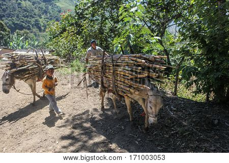 PIURA PERU - JUNE 28: Daddy with his son are leading their donkeys loaded with bundles of sugarcane near the city of Piura region called Jijili. In the north of Peru 2011.