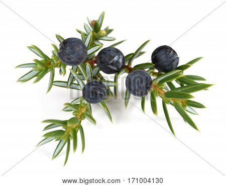 Juniper branch with berries isolated on white