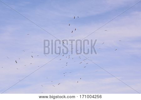 Flock Of White Storks Against Blue Sky