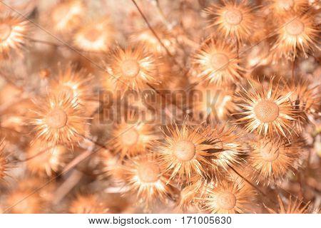 Dry Flower Background