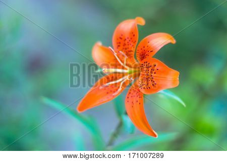 Orange lily against blurry green background standalone