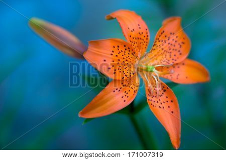 Orange lily against blurry blue background standalone