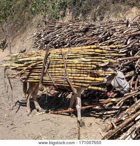 View of a donkey which carries a bundle of sugarcane near the city of Piura region called Jijili. In the north of Peru 2011.