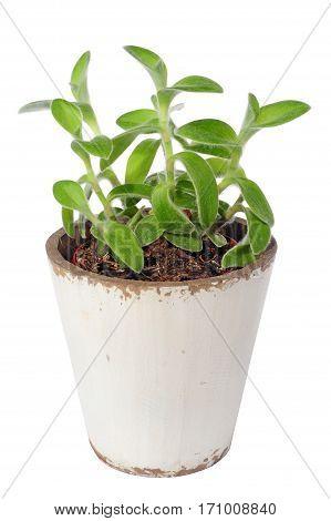 inchplant tradescantia zebrina
