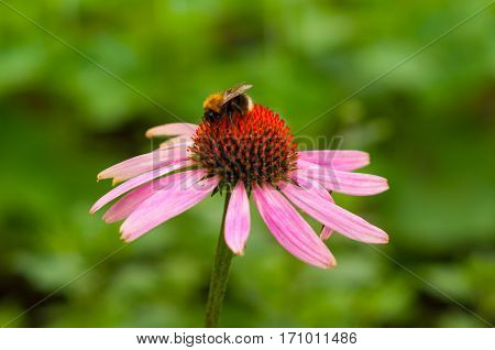 Echinacea and a bee macro close up