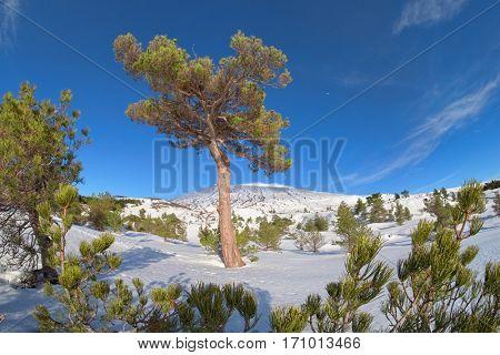 big pine tree in tree line winter Etna Park, Sicily
