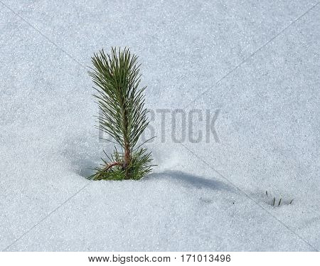 needles of pine tree under the snow in Etna Park, Sicily