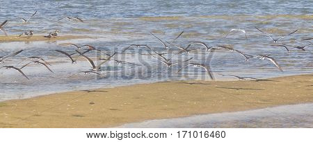 Group Of Black Skimmer At Lagoa Do Peixe