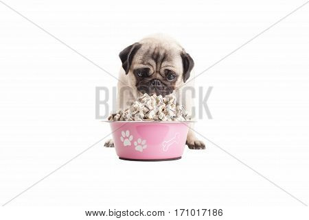 adorable cute pug puppy dog eats food from bowl filled with dog treats isolated on white background