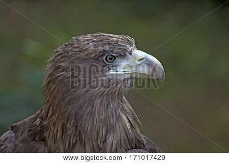 Close-up of golden eagle or Aquila chrysaetos