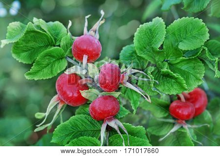 Red rose hips or brier on the bush.