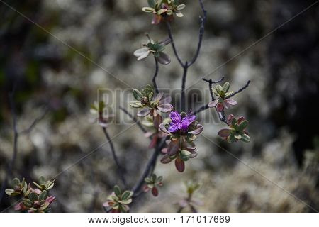 Rhododendron Flower on a background of mossy northern forests