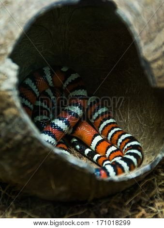 Campbell milk snake sleeping in the shelter of coconut