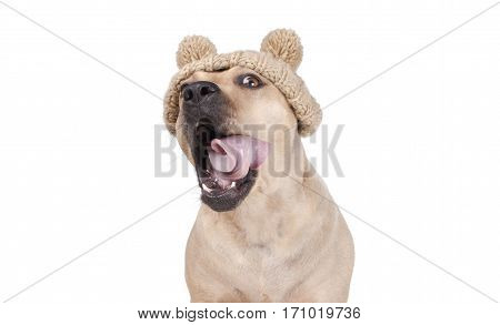 adorable happy cute pit bull dog yawning with open mouth and tongue rolling wearing knitted hat with pompoms isolated on white background