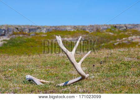 Deer antler found on the russian tundra, extreme north region