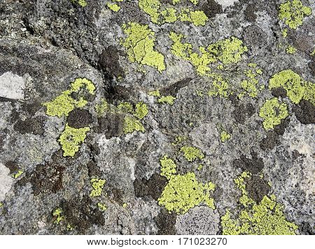 Nature details: many different lichens grow on gray rock surface. Bright green and different gray colored lichen patterns. Taken in Sweden.