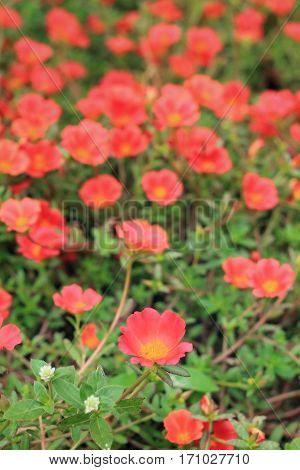 Close up of Orange Portulaca Flowers on Tropical Garden
