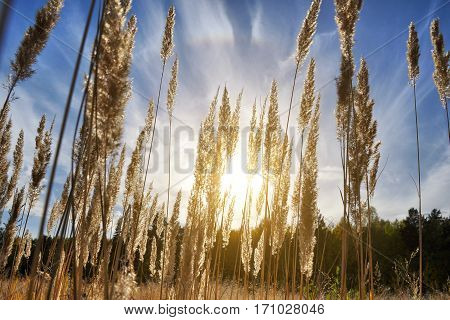 Tall grass in a field on the background of the setting sun and blue sky. Bright Sunny summer photo. Golden ears of grass swaying in the wind in the sun