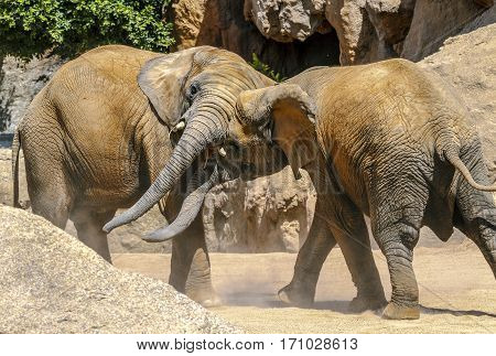 African elephant couple playing with prompts in Spain