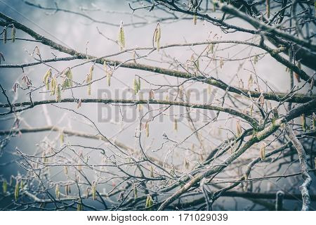 Frosty Hazel Tree Buds on Branches, Natural Background