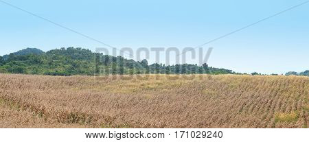 Dry corn in the agricultural field Thailand