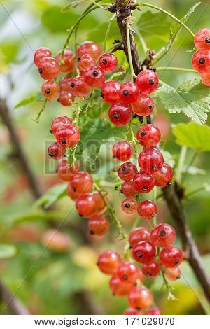 Red currant on a branch in the garden.