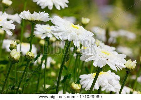 Camomile or chrysanthemum flower field in summer.