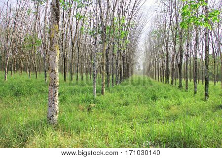Rubber plant plantation with rows of cultivated trees
